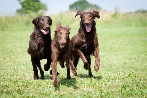 3 Hunde rennen zielsicher zum Menschen